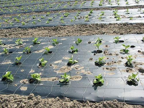 کاربرد مواد پلیمری در مالچ کشاورزی